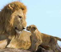 ライオンの赤ちゃんの過酷さたるや・・・