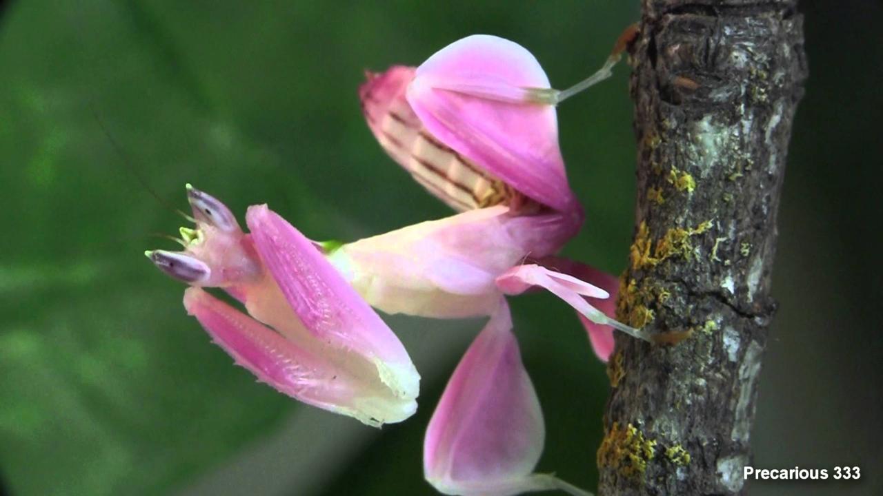 虫界の美しすぎるハンター、ハナカマキリ
