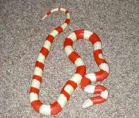 名前の由来が可愛いらしいミルクヘビ