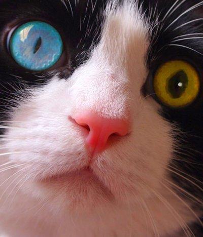 左右の瞳の色が違うオッドアイ、動物、人