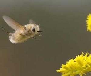 鳥のようなふわふわな虫トラツリアブがかわいい!