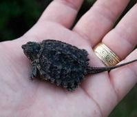 噛まれたらひとたまりもない最強の亀、ワニガメ!