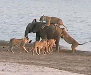 ゾウ最強説、10匹以上のライオンを追い払う若ゾウ。
