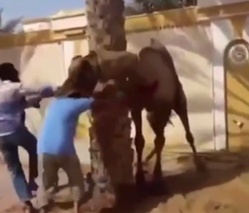 ラクダは思ったより凶暴らしい。